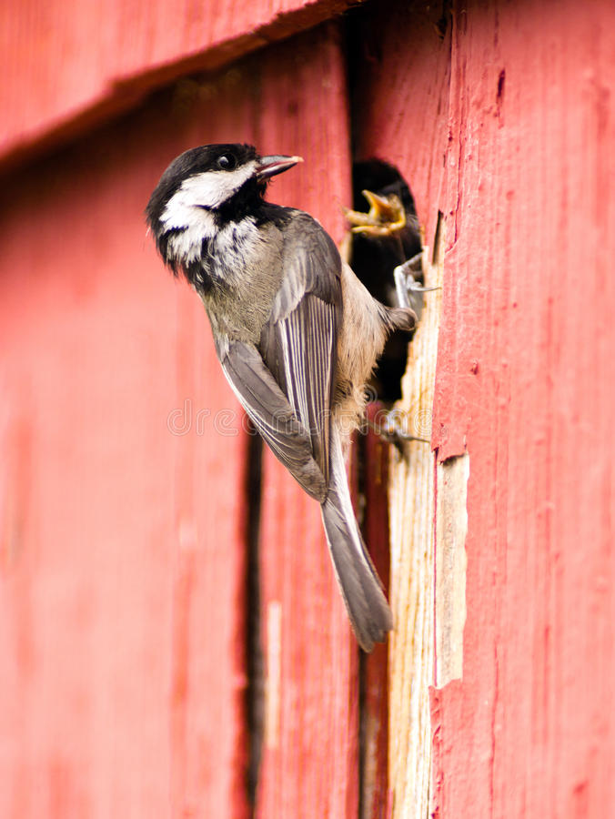 Free Black-capped Chickadee Bird Perched Over Nest Feeding Young Royalty Free Stock Image - 94105226