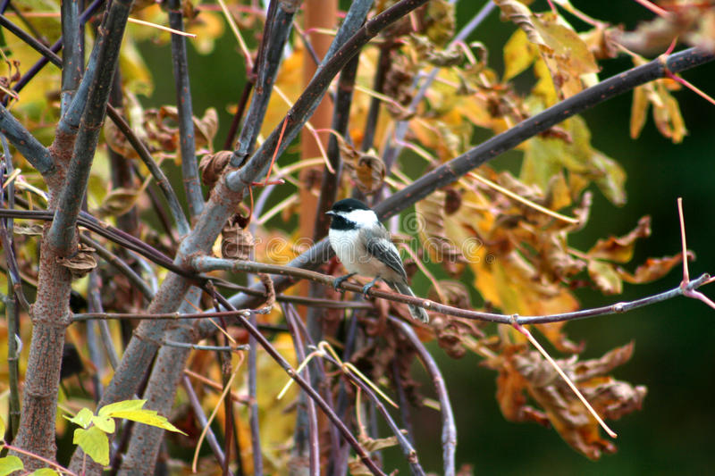 Black-Capped Chickadee. Cute little black-capped chickadee in Fall in Dunnville, Ontario, Canada royalty free stock image