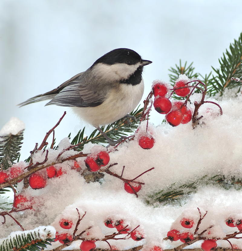 Black- capped Chickadee On Festive Spruce. An adorable Black- capped Chickadee (Poecile atricapillus) on a festive spruce bough with hawthorn berries royalty free stock photos