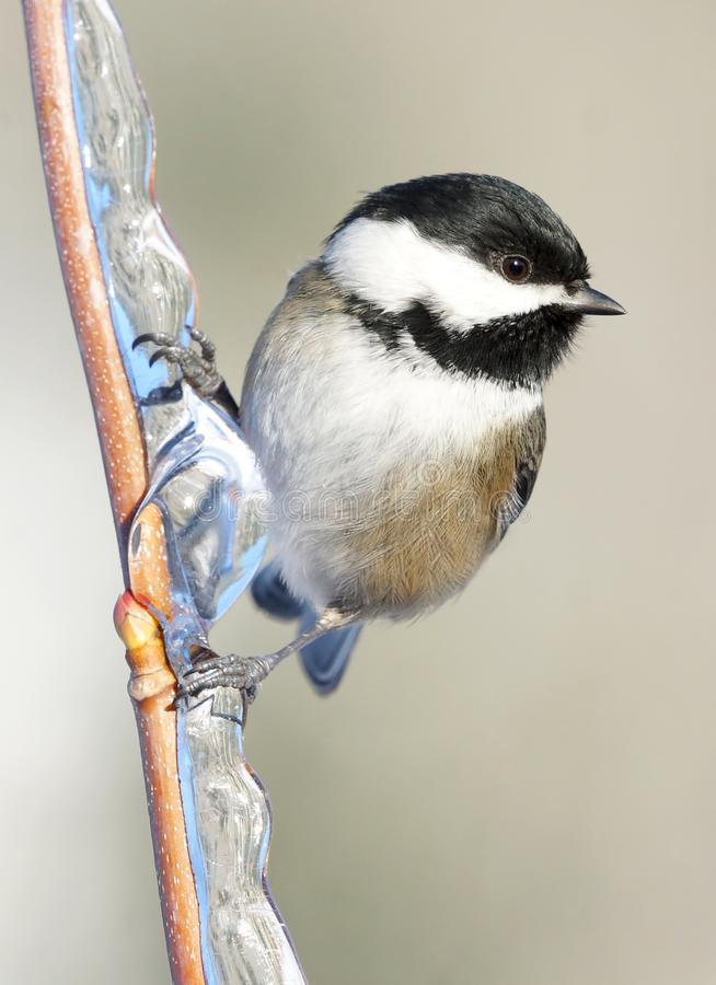 Free Black-Capped Chickadee In Winter Perched On An Icy Branch Stock Photos - 107243103