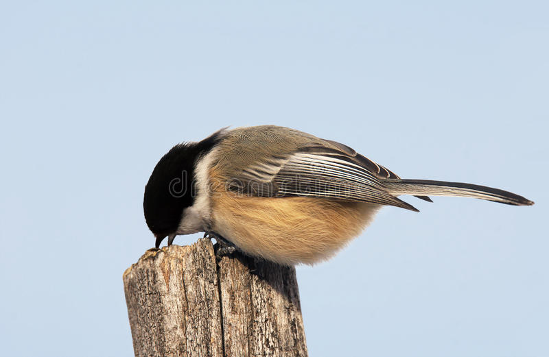 Black-capped chickadee. Litte bird, Black-capped chickadee, Poecile atricapilla, pecking old wood stock photo