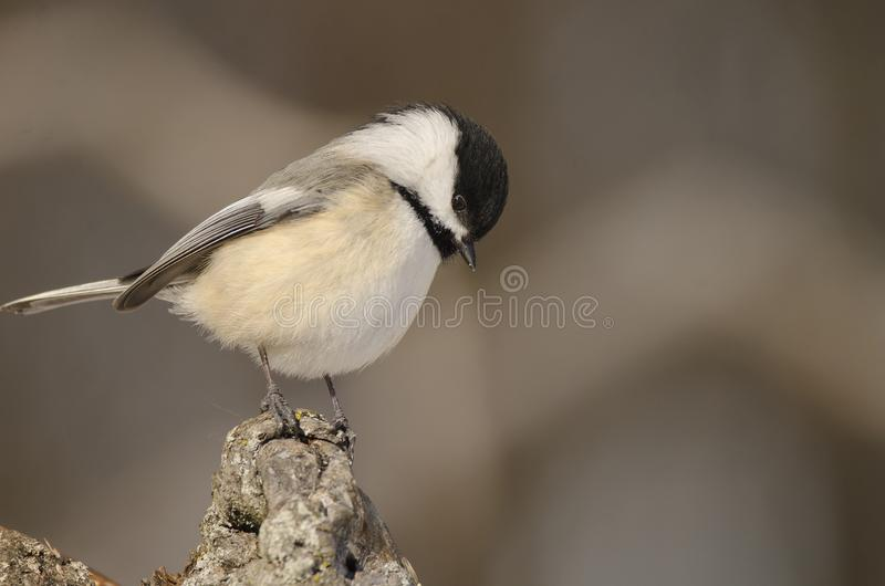 Black-capped chickadee looking down. These black-capped chickadee are so friendly and so familiar to humans, they are very popular to humans stock images