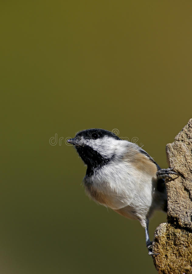 Download Black-capped Chickadee (Parus Atricapillus) Stock Photo - Image: 27020332