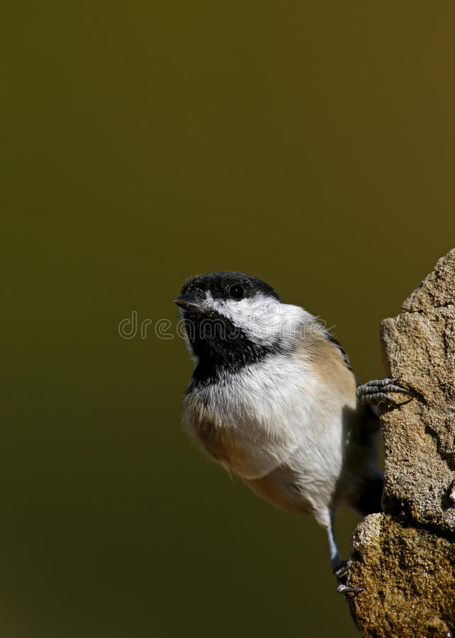 Download Black-capped Chickadee (Parus Atricapillus) Stock Photo - Image of backyard, capped: 27020390