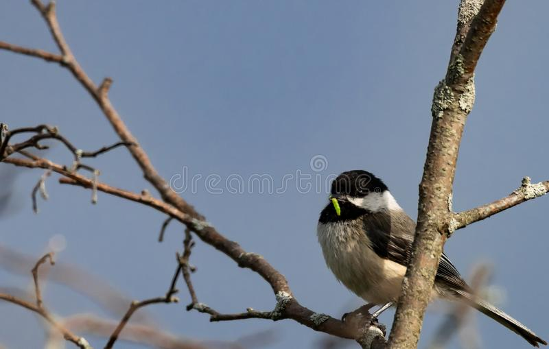 Chickadee with a worm in his beak stock images