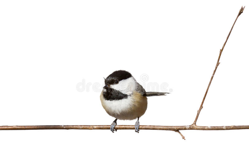 Download Black Capped Chickadee Perched On A Branch Stock Image - Image: 19821905