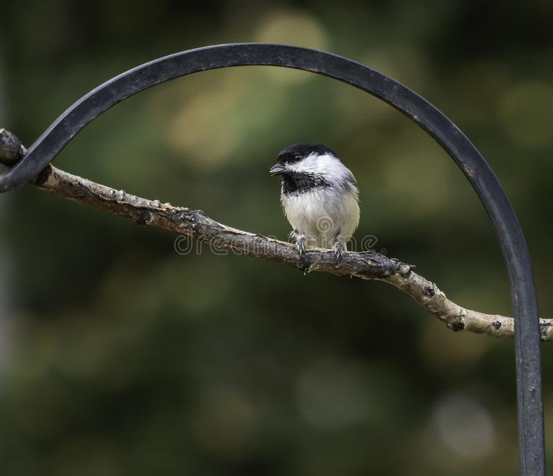 Black-capped Chickadee Perched on a Branch. The black-capped chickadee is a small, nonmigratory, North American songbird that lives in deciduous and mixed royalty free stock photography