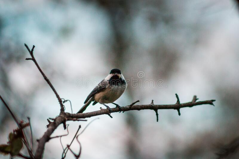 Black Capped Chickadee perched on a branch on a cloudly spring day in Grand Rapids Michigan. Black Capped Chickadee perched on a branch on a cloudly spring day royalty free stock image