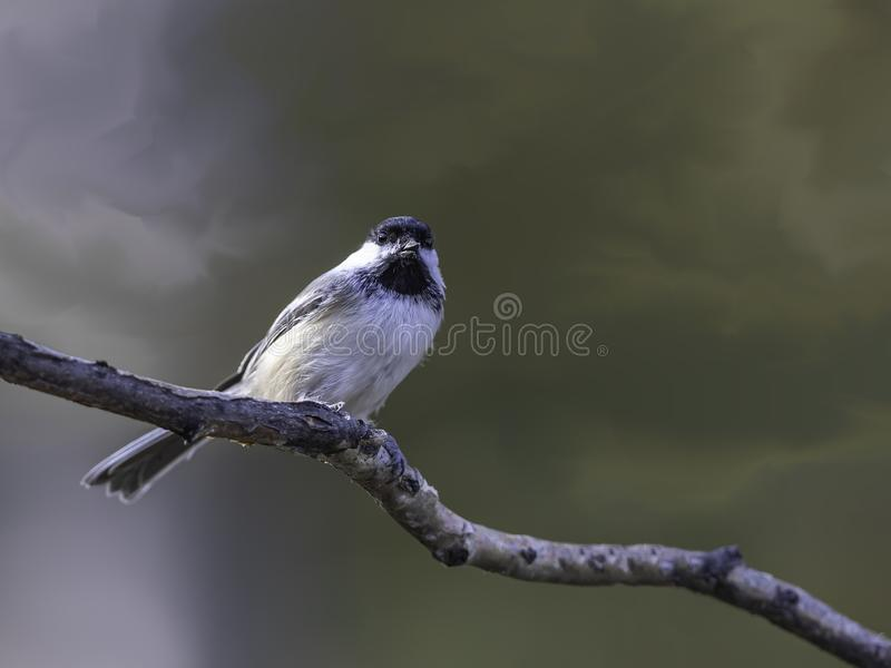 Black-capped Chickadee Perched on a Branch. The black-capped chickadee is a small, nonmigratory, North American songbird that lives in deciduous and mixed stock image
