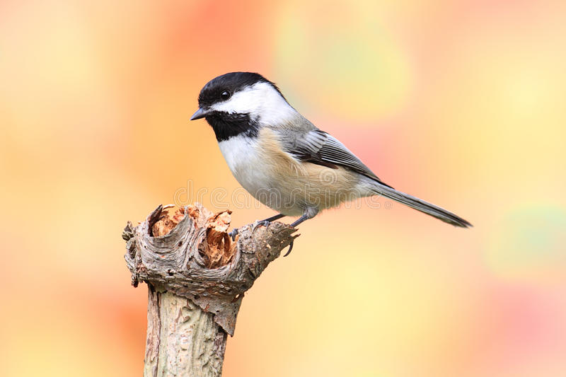 Black-capped Chickadee (Poecile atricapillus) royalty free stock image