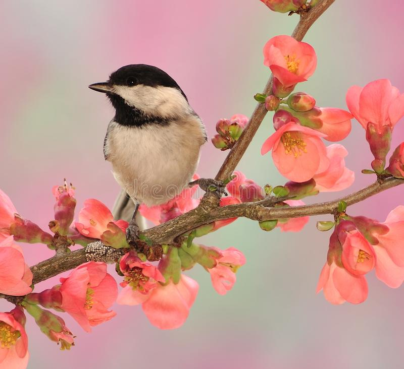 Black-capped Chickadee (Poecile atricapillus) stock images
