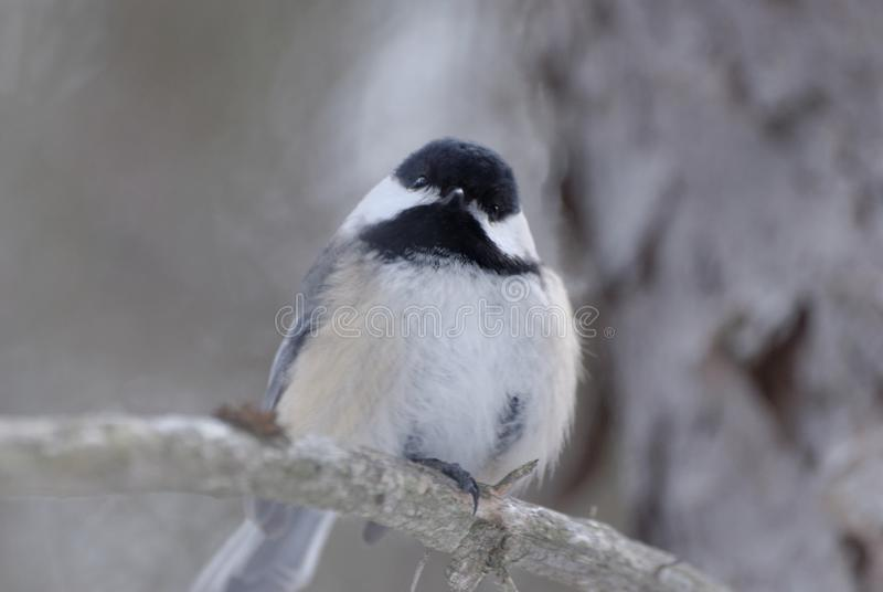 Black-capped Chickadee Poecile atricapillus royalty free stock photo