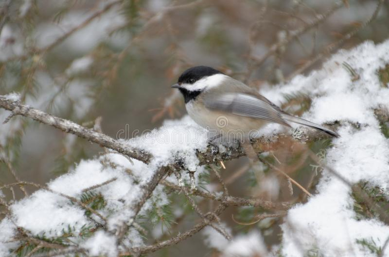 Black-capped Chickadee Poecile atricapillus stock images