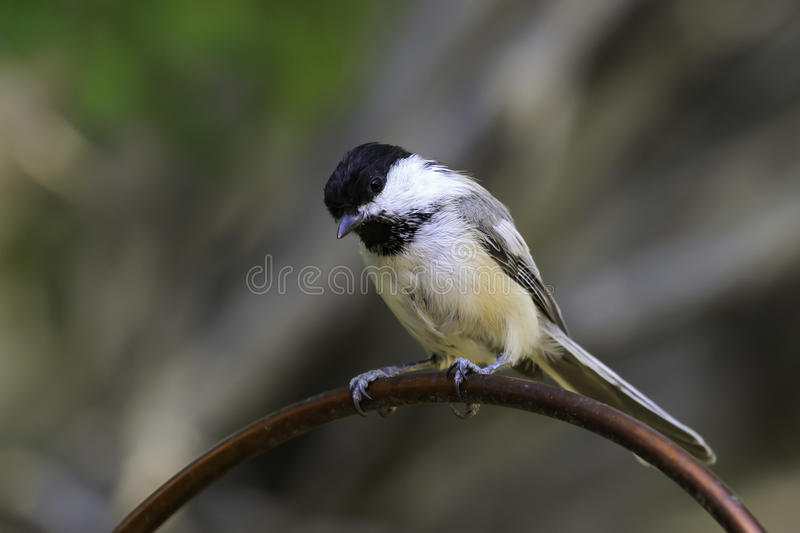 Black-Capped Chickadee (Poecile atricapillus) stock photography