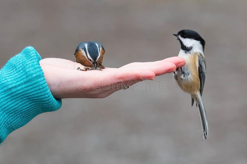 Black-capped Chickadee - Poecile atricapillus- Poecile atricapillus royalty free stock images