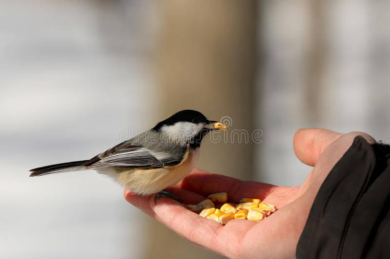 Black-capped Chickadee (Poecile atricapillus). Is a small, North American songbird. It is notable for its capacity to lower its body temperature during cold stock images