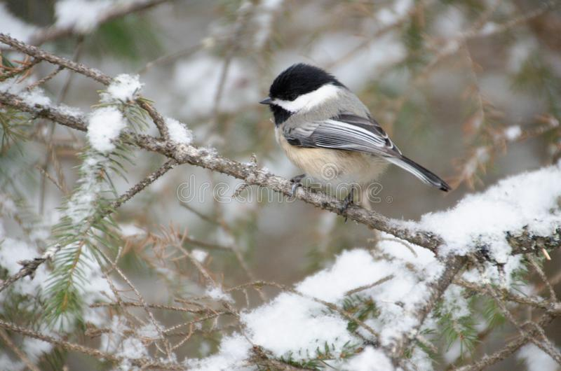 Black-capped Chickadee Poecile atricapillus royalty free stock photography