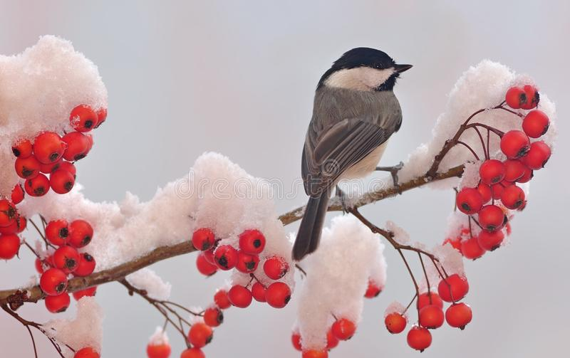 Black- capped Chickadee (Poecile atricapillus). A winter Black- capped Chickadee on a snowy hawthorn branch full of bright red berries vector illustration