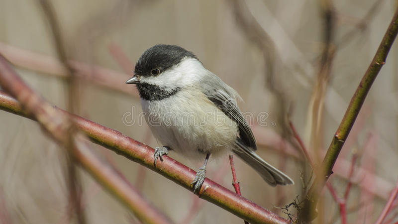 Black Capped Chickadee on a red twig shrub. The Black-capped Chickadee is a small, North American songbird, a passerine bird in the tit family Paridae. It is the royalty free stock photography