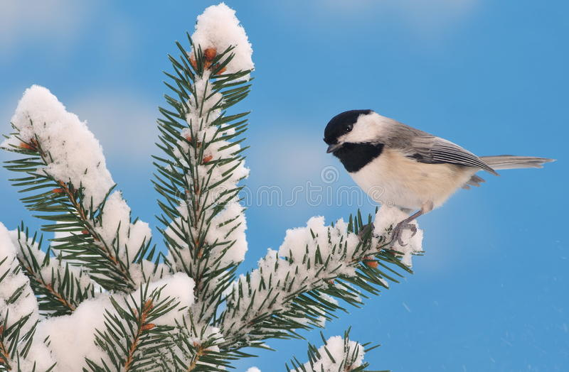 Download Black- Capped Chickadee On Snowy Spruce Stock Photo - Image: 26092778