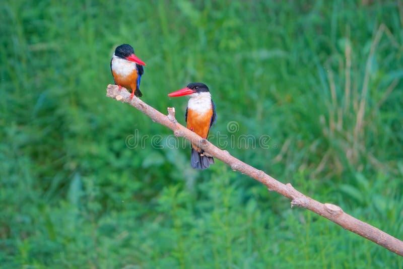 black capped kingfisher fotografering för bildbyråer