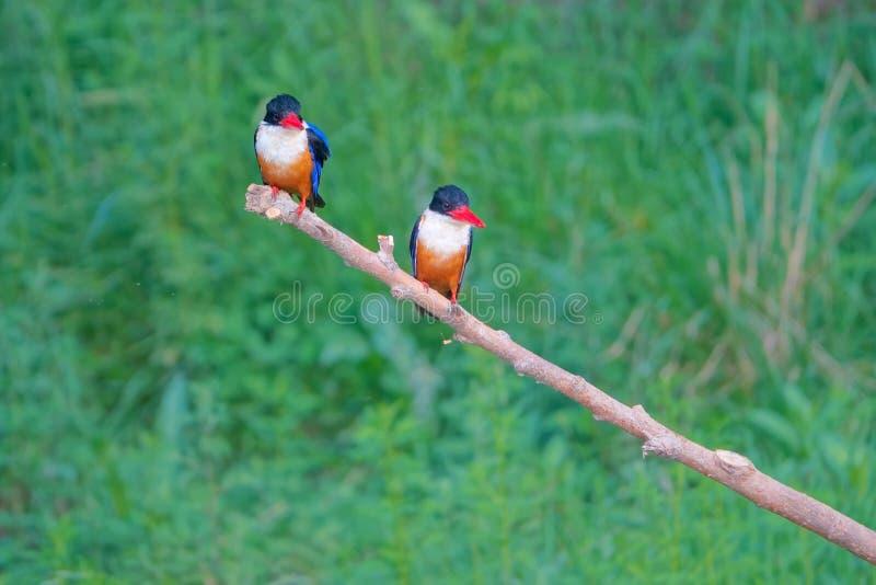 black capped kingfisher arkivfoton