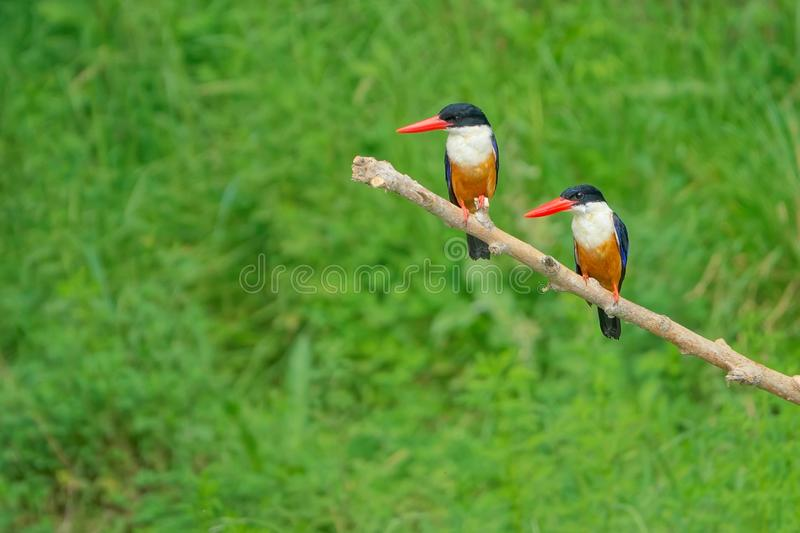 black capped kingfisher royaltyfria bilder