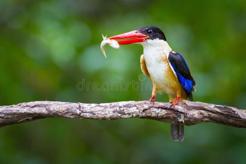 black capped kingfisher royaltyfria foton