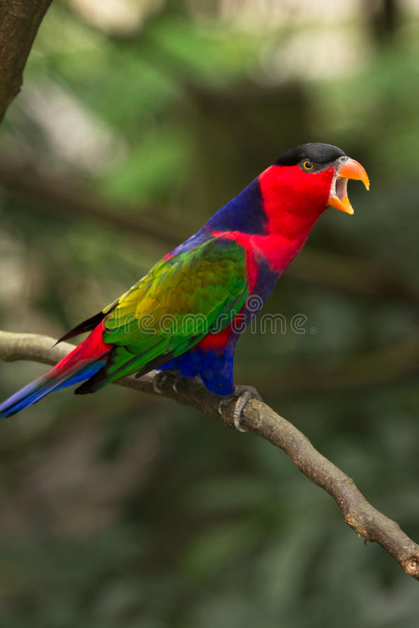 Black-capped Lory stock photos