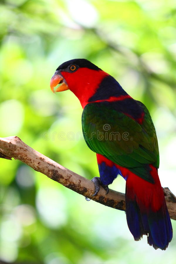 Free Black-capped Lory Royalty Free Stock Photos - 20791158