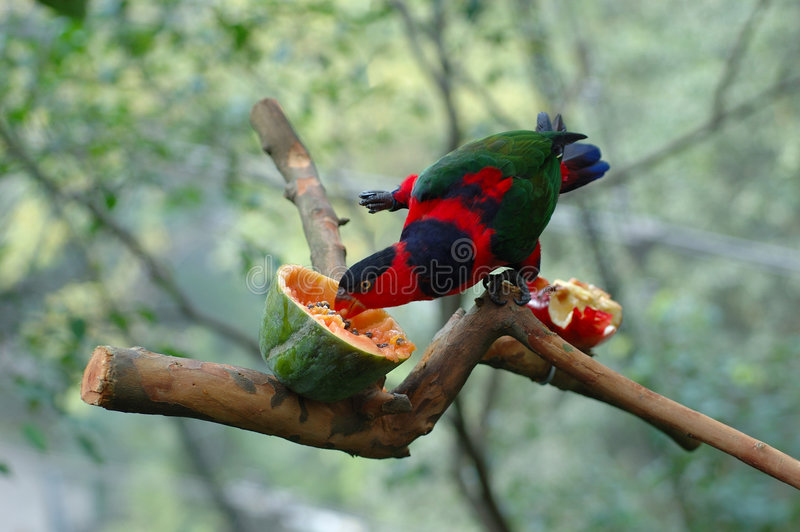 black capped lory royaltyfri bild