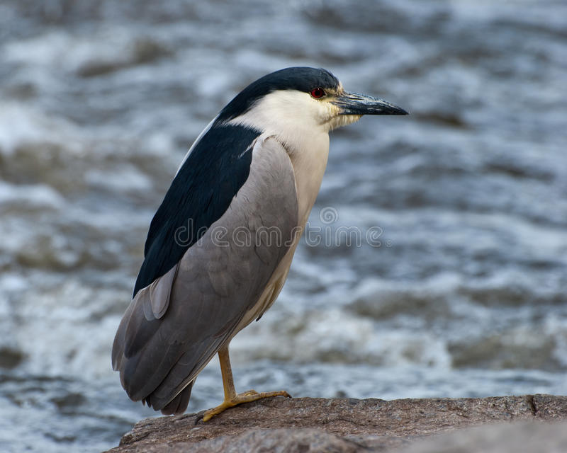 Download Black-capped Night-heron Stock Photos - Image: 11109443