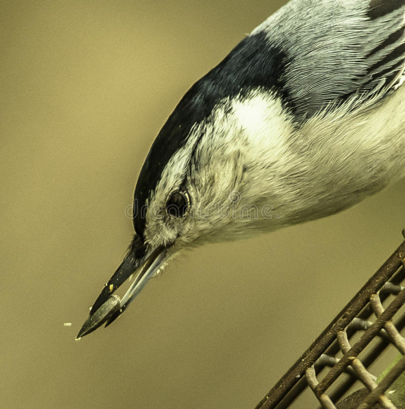 Black-capped Nuthatch Snags a Seed stock image