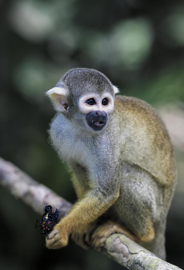 Black capped squirrel monkey eating butterfly in tree royalty free stock photography