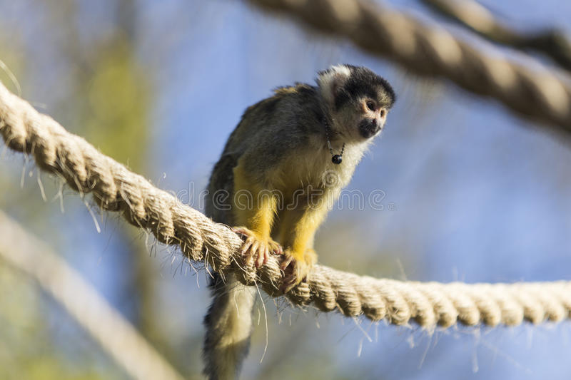 A Black-capped squirrel monkey stock photography