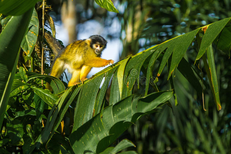Black Capped Squirrel Monkey royalty free stock image