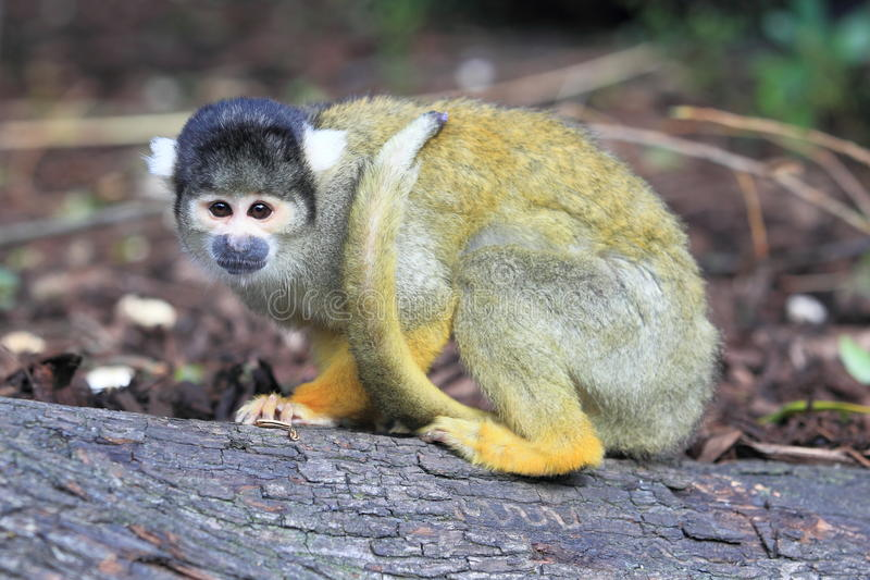 Black-capped squirrel monkey stock photos