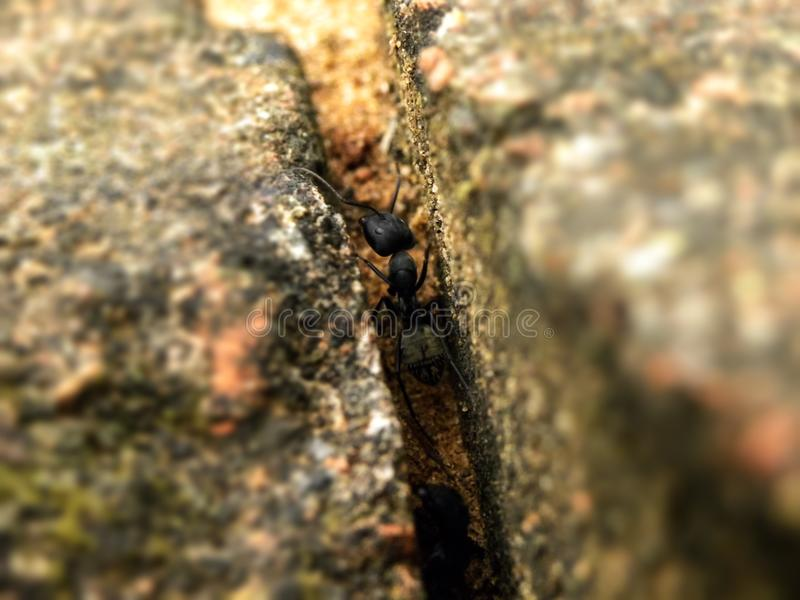 Black Carpenter ants in between outside brick work. A close up view of Black Carpenter ants in between outside brick work royalty free stock image