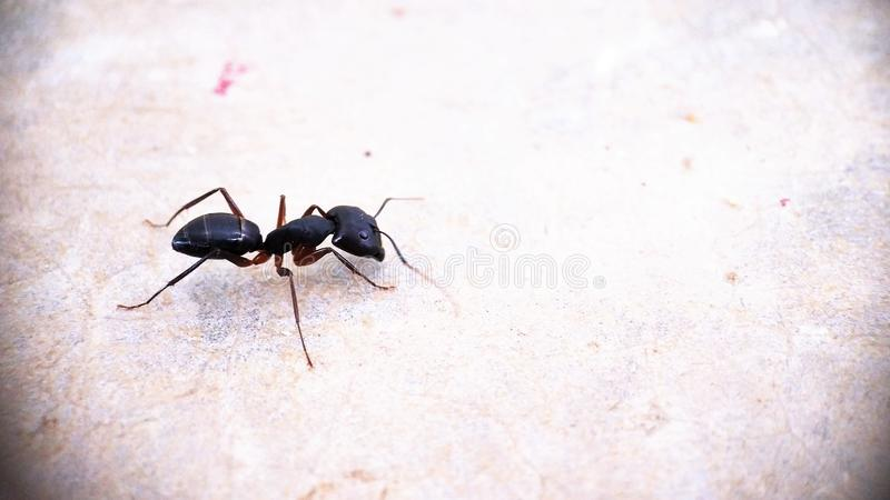 A Black Carpenter side view ant moving around isolated macro photography - Left side of Photo stock photos