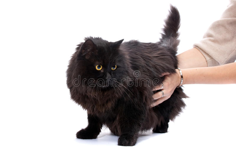 Download Black Cat. Stock Photography - Image: 11380972