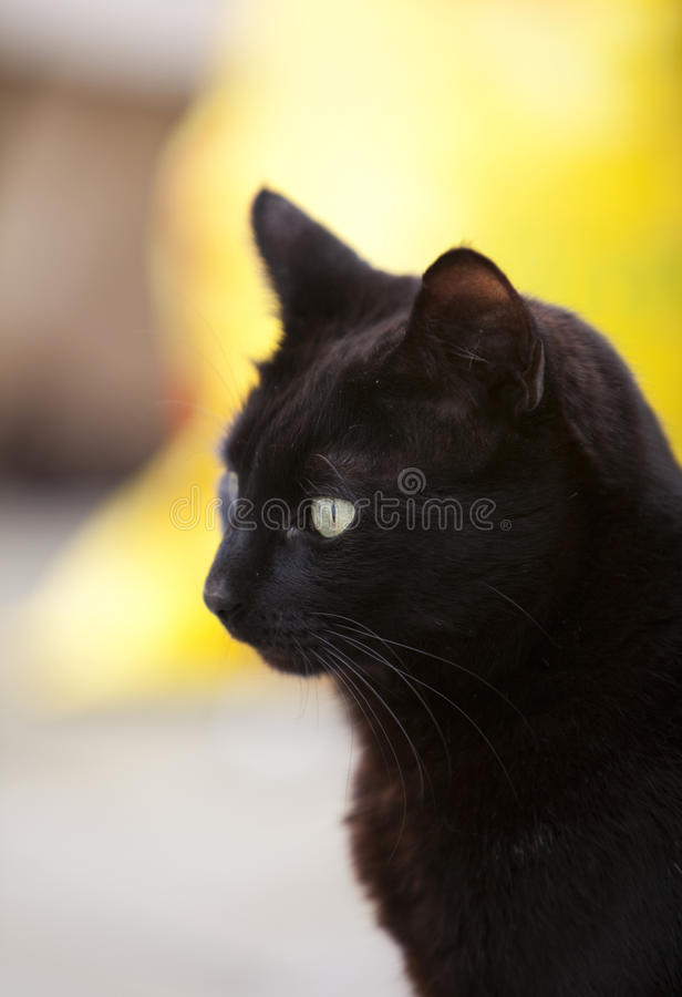 Download Black cat stock photo. Image of pets, whiskers, domestic - 24791208