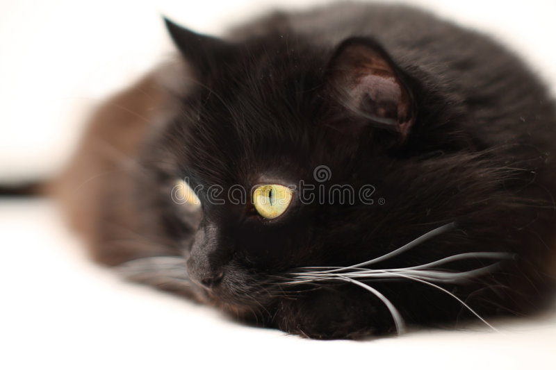 Download Black cat stock image. Image of eyes, stare, black, whiskers - 3409847