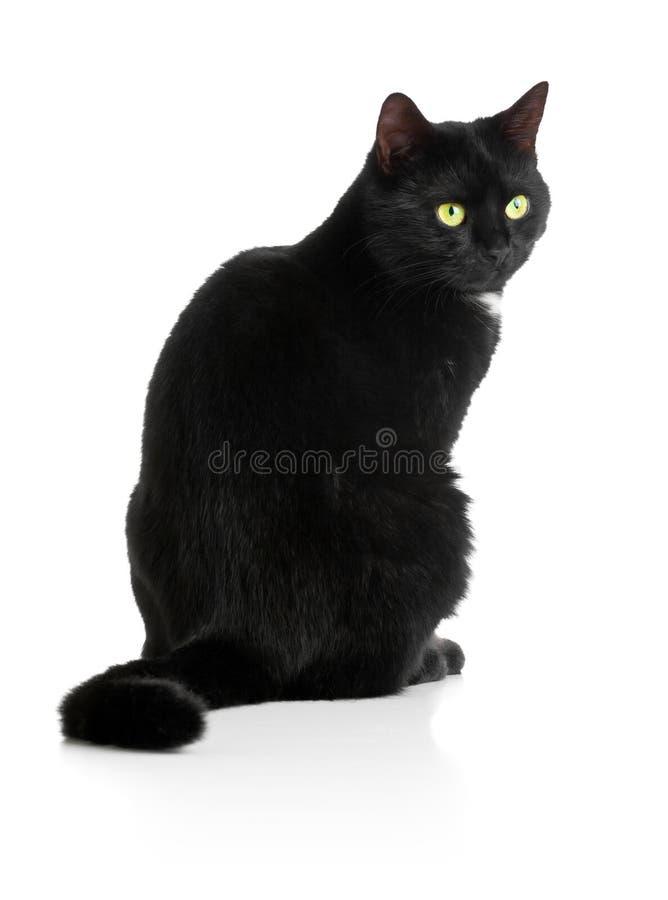 Black cat. Black female cat sitting on white background royalty free stock photo