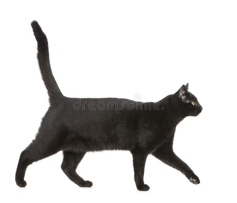 Black cat. In front of a white background royalty free stock photography