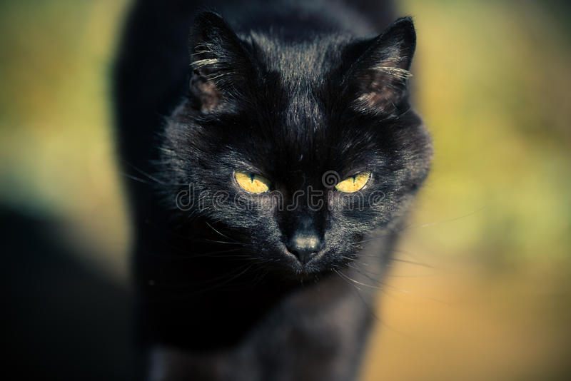 Black Cat Approaching. A sleek black cat walking towards the camera, her golden eyes lit up on a sunny day, which also emphasises the subtle contrasts in her fur royalty free stock photo