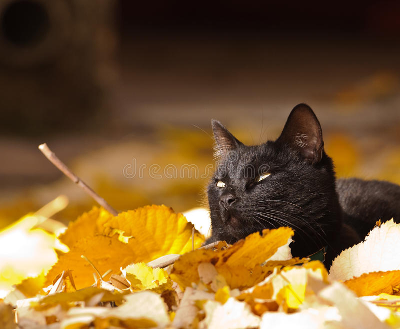 Black Cat and autumn leaves. Black cat enjoying the last warm sunshine of the weak autumn sun in Spain stock photos