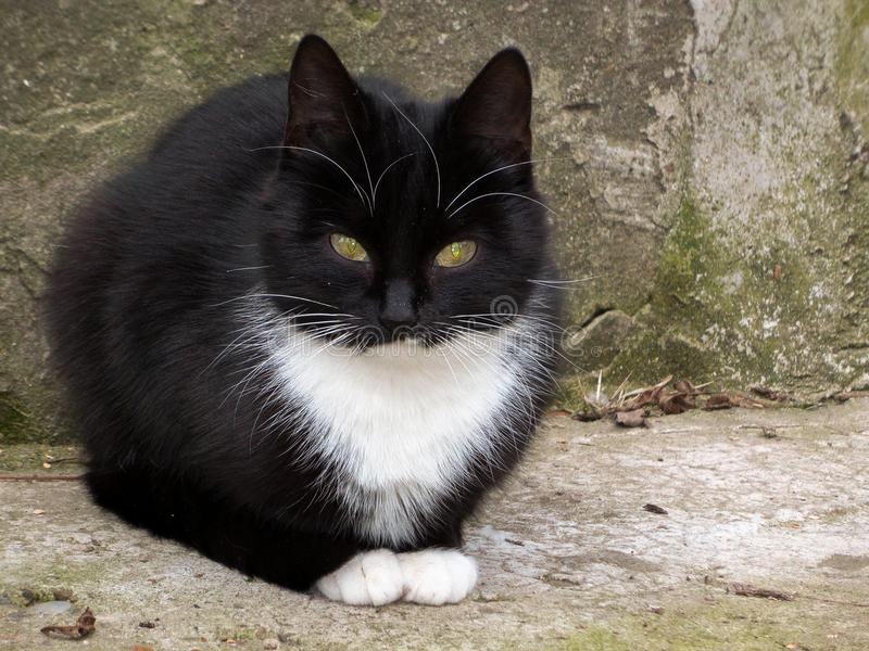 Black cat. A beautiful black and white cat looking into the camera stock images