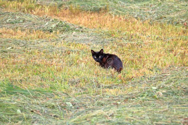 Black Cat and Behavior. A young black cat cowers in the grass after spotting a stranger in the distance stock photography