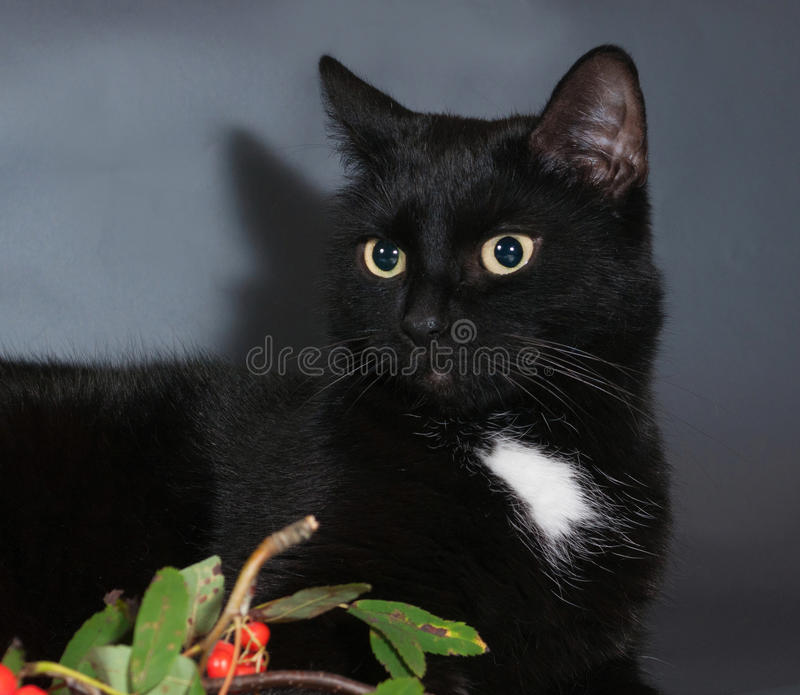 Black cat on black background. Next to the berries of mountain ash royalty free stock photos