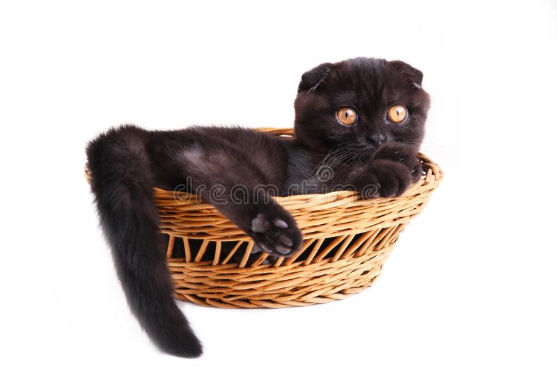 Black cat british shorthair with yellow eyes in basket on white background stock image